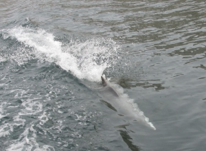 dolphin playing alongside the dhow