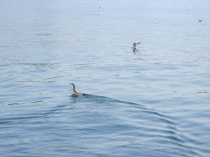 anhinga swimming and gull diving