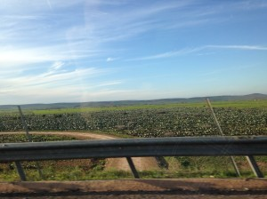 A field of cultivated prickly pear cactus! One of many we saw as we drove to Marrakech.