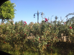 Roses were everywhere! This is in the median.