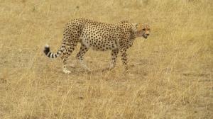 Cheetah - T
