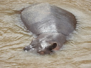 We didn't see many hippo faces. These were mostly submerged like this.