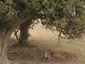 Hyena under a tree