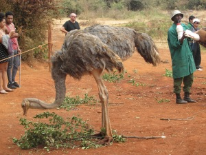 ostrich at the elephant orphanage