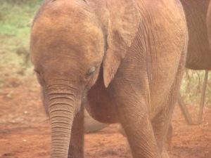 Wee baby elephant