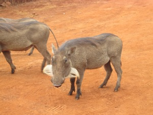 Warthog family just strolling around.