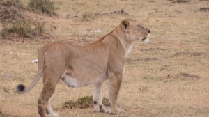 Lioness, possibly pregnant or recently gave birth Thom's photo