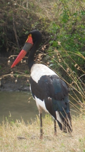 A little closer view of the saddlebill stork