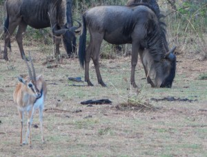 Wildebeests and a Thompson's Gazelle Thom's photo