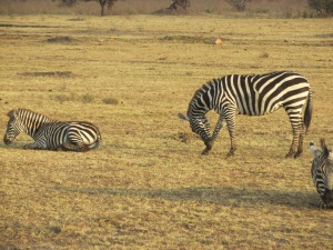Zebras became so common place that we stopped taking pictures of them.