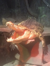 We went to the Serpentarium in Wilmington, NC where this fellow was hanging out. He is NOT stuffed.