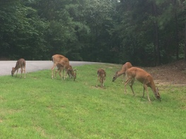 Deer grazing everywhere