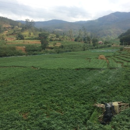 This is the farming region in Sri Lanka where they had till the land and they were growing all sorts of things besides tea: broccoli, cauliflower, beets, carrots, onions, corn, to name a few.