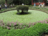 A large pond covered by small water plants at Peradeniya Gardens just in front of the orchid house.