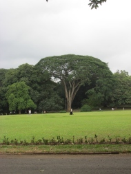 Such a huge umbrella of a tree across the enormous circular lawn.